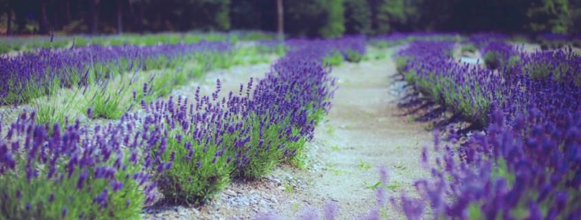 Lavender-Pond-Farm-Nicholas-Bencivengo-Rows