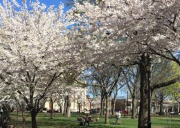 45th Annual Cherry Blossom Festival